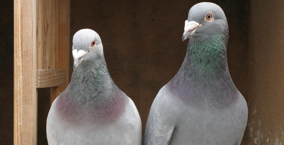 What humans and homing pigeons have in common